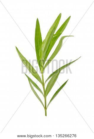 Fresh tarragon herbs Tarragon herbs close up isolated on white