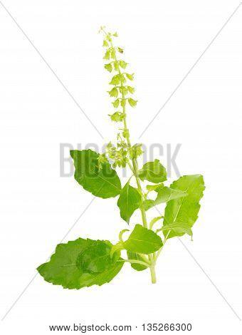 Fresh basil leaves in closeup basil leaves Fresh green leaf basil isolated on white background.