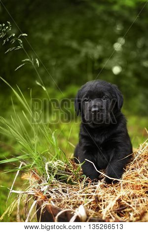 beautiful purebred black puppy dog Labrador sitting on the hay in the summer on the nature