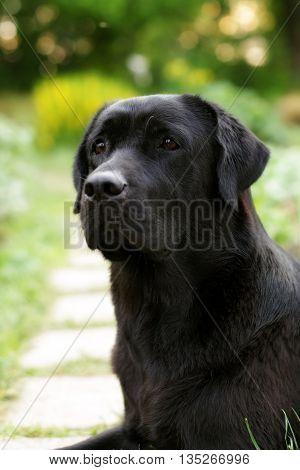 beautiful black Labrador dog Retriever in the summer on the nature looking sad portrait closeup