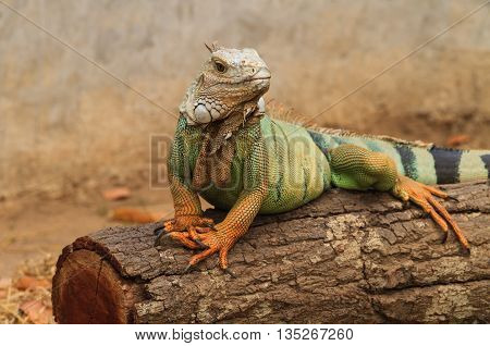 Green iguana on branch in animal zoo