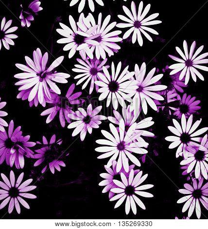 Purple Toned Beauty White Garden Daisy Flowers on Blurred Dark background Outdoors