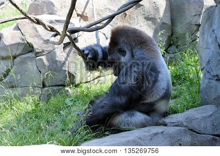 A Lowland Mountain Gorilla in the outdoors