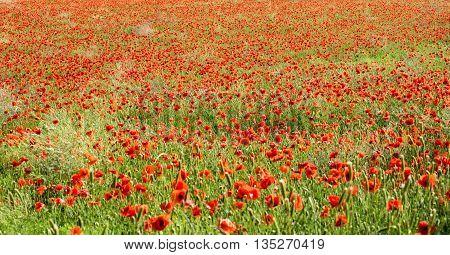 Panoramic View Of Red Corn Poppies