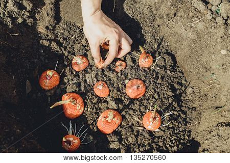hands planting bulb of gladiolus in the garden