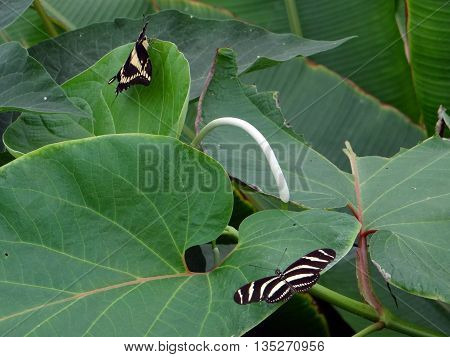 Two motley butterflies sitting on large green leaves