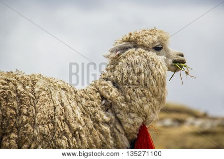 llama eating on the heights of the mountain