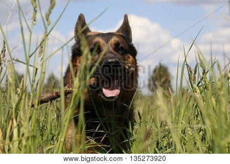 Dog German Shepherd On The Field In Summer Day