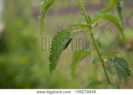 nettle has a black larva crawling on leaf