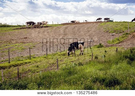 Holstein Friesians cows in the pasture of a dairy farm