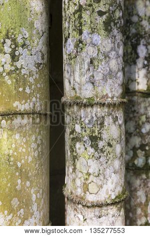 Thick old bamboo trunks background / Closeup of thick old bamboo trunks at Botanical Garden, Rio de Janeiro, Brazil