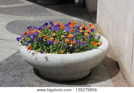 grey concrete flower bed of beautiful orange and purple violets on the street of Moscow Russia