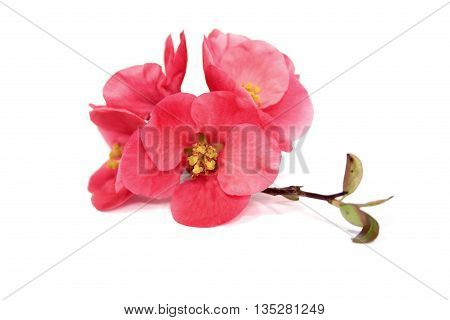 Chaenomeles japonica, beautiful pink flowers on white background