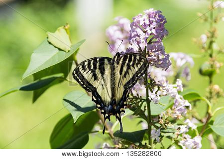single monarch butterfly on lilac flower branch