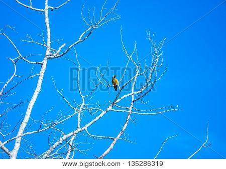 Isolated male Bullock's Oriole perched in bare Aspen