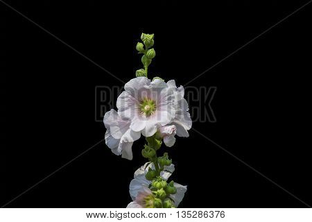 Holly Hock white on a black background