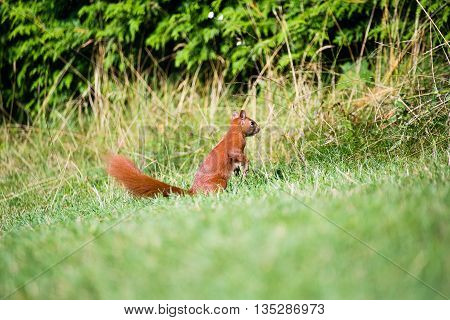squirrel in the garden. Red squirrel l in a grass. Small ginger squirrel in park