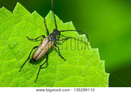 Brown beetle with big ears clinging to a green leaf