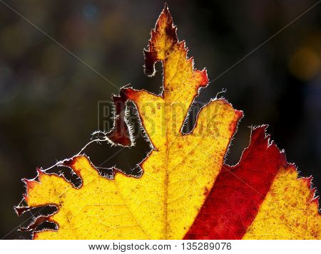 introduced, frayed, leaf in the colors of the autumn