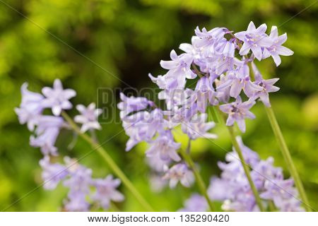 Selective focus of Hyacinthoides, bluebell bellflower flowers in blue purple (Hyacinthoides Ã?? massartiana) blossoming during summer in Austria, Europe