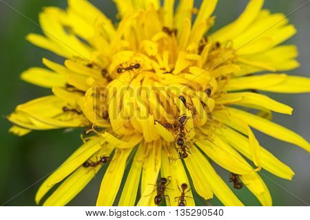 Closeup of big brown ants feeding on pollens of Common Dandelion flower in yellow (Taraxacum officinale) during summer in Austria, Europe
