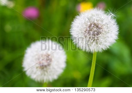 Selective focus of fluffy blowball (clock) of Dandelion flower with blurred green meadow background during summer in Austria, Europe (Taraxacum officinale)