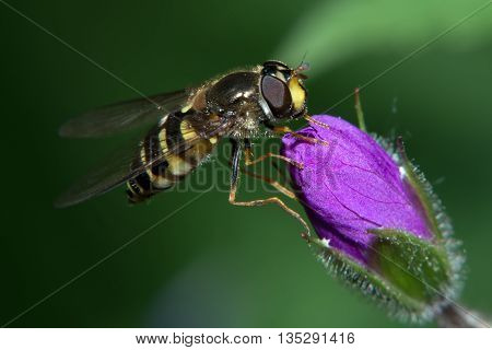 The fly sits on a violet flower bud