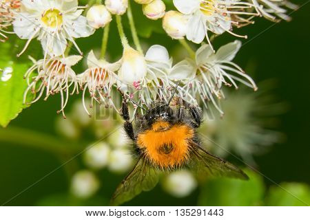 Bumblebee collects nectar from white flowers bush