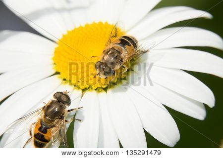 Two Fly Hoverfly sitting on a camomile