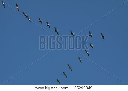 A row of three Brown Pelicans birds flying in formation, Costa Rica