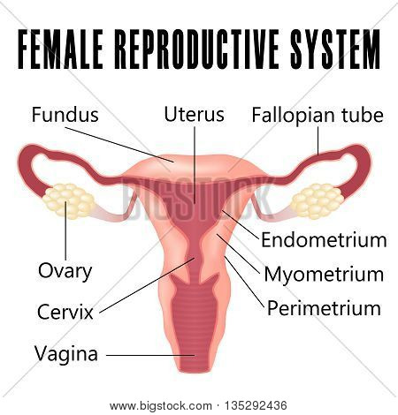 Female reproductive system the uterus and ovaries scheme.