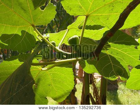 unripe fig - fruits of a fig tree