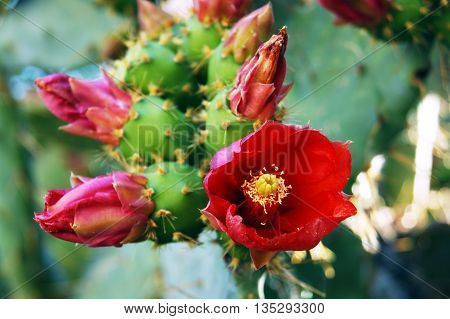 Discloses a a red flower and closed buds on the cactus pear