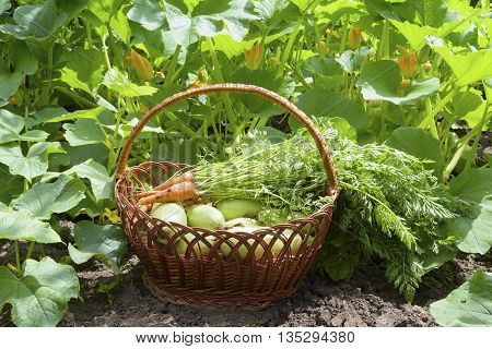 basket with a crop in the vegetable garden