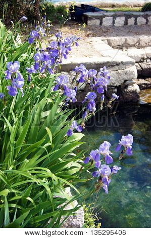Lots of blue irises, growing near the water