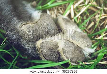 Paw gray shepherd dog on the grass background
