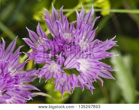 Purple chives blossom at flowerbed macro selective focus shallow DOF