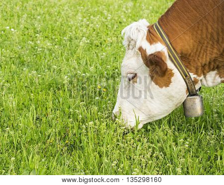 Hungry old cow is eating some grass.