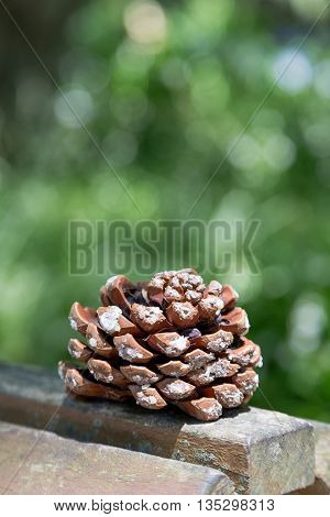 big pine cone on wooden board with blure green background