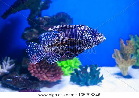 fish lionfish in the aquarium on the blue background with Red sea.