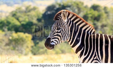 Look At Me - Burchell's Zebra