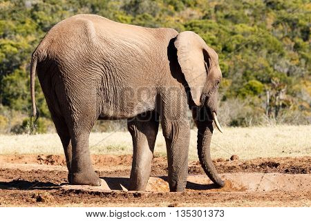 Where Is The Water - African Bush Elephant