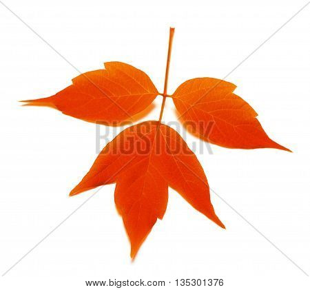 Red Autumn Lea