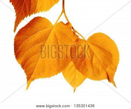 Autumnal Sunlight Leafs
