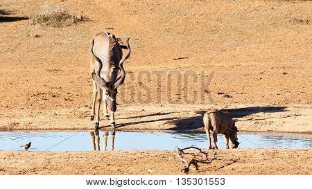 Drinking In Silence - Greater Kudu - Tragelaphus Strepsiceros