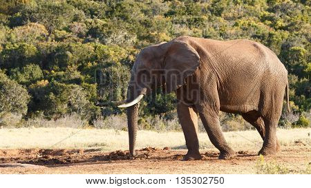 Need To Get To The Dam -african Bush Elephant