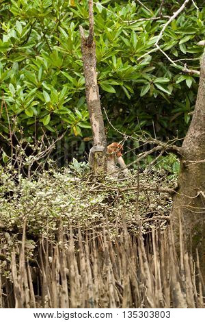 Long nosed probiscus monkey sitting in a tree, brunei