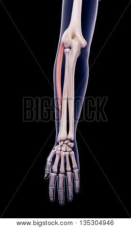 3d rendered, medically accurate illustration of the extensor carpi radialis longus