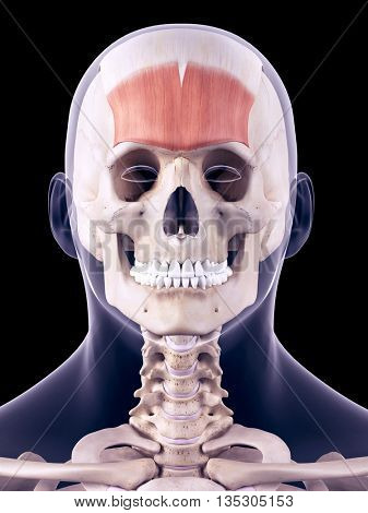 3d rendered, medically accurate illustration of the frontalis