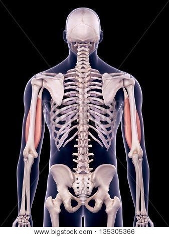 3d rendered, medically accurate illustration of the biceps
